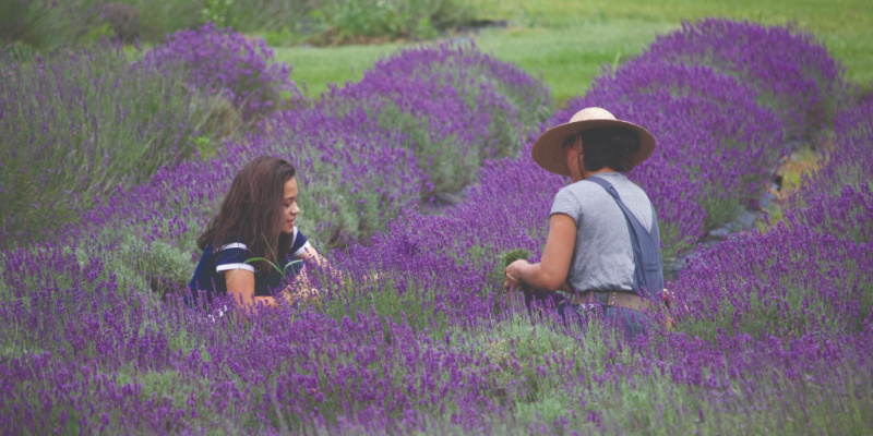 lavender fields in Baraboo, Wis