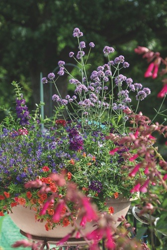 Annuals overflow on Rashka's deck, one of the only places you'll find annuals in her garden. Among them include purple verbena bonariensis and reddish-purple salvia, a plant hummingbirds love.
