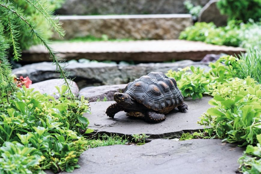 Sheldon is a 9-year-old red foot tortoise that lives freely in the backyard. During the winter, he's brought inside. But as long as temperatures stay around 50 degrees, he can live comfortably outside.